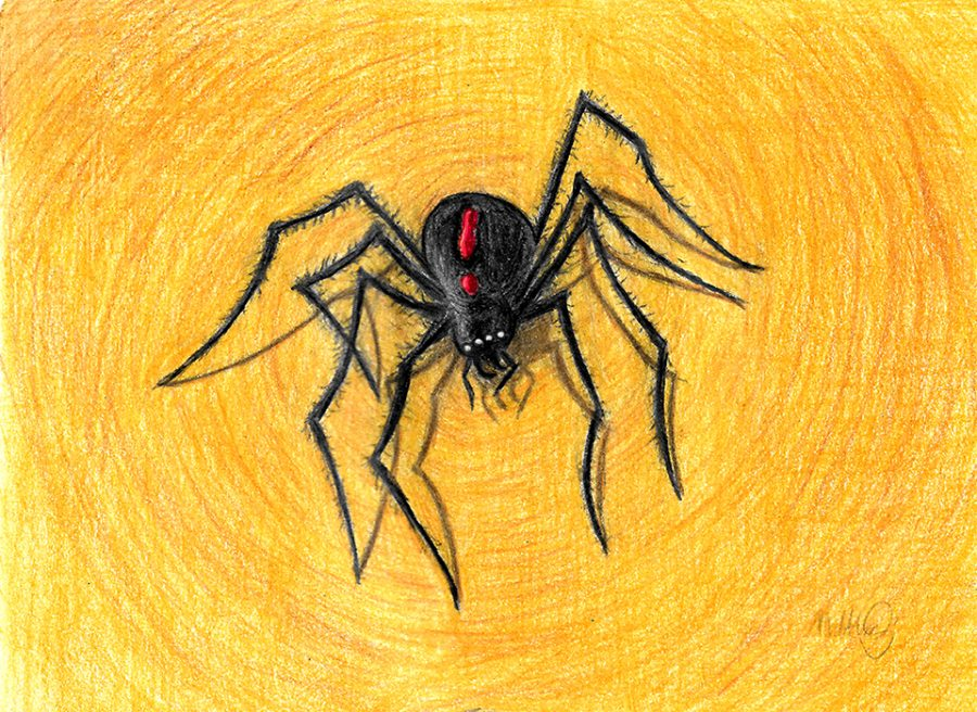 Hybrid Spider (Hunstman Redback cross)
